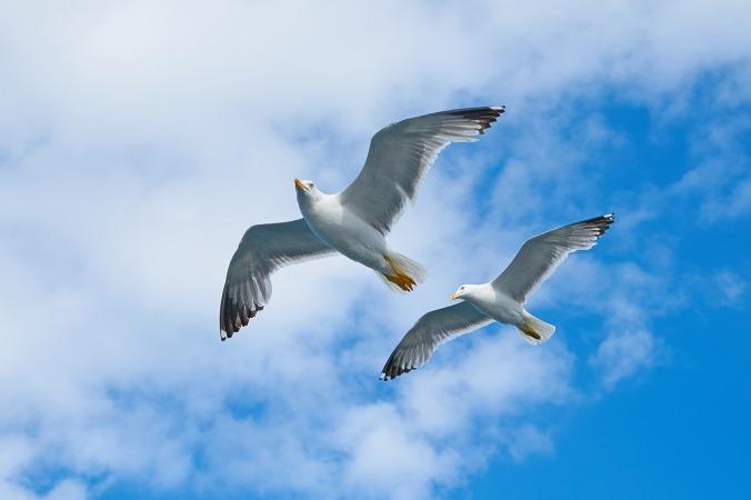 seagull-2394636_1920
