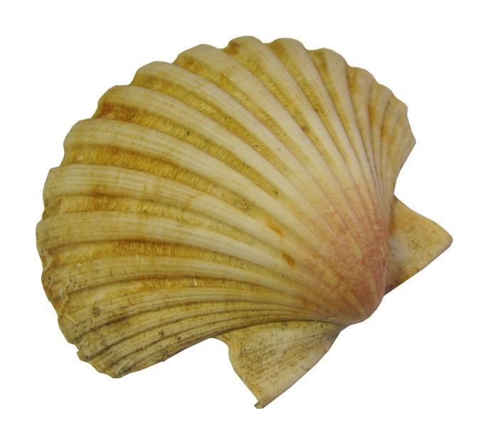 seashell-1063437_1920