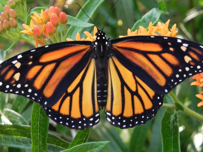 monarch-butterfly-2466541_1920