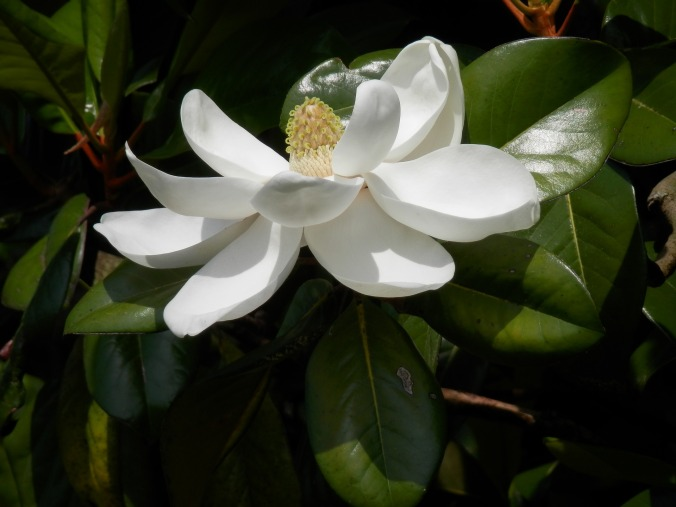 southern-magnolia-775528_1920
