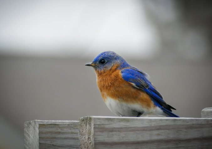 bird-blue-bluebird-1137419